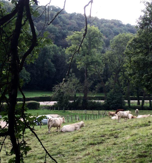 labbaye-de-fontenay-cows-france-1
